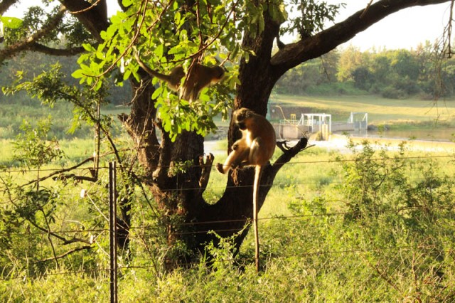 Vervet monkey on the fence of the camp