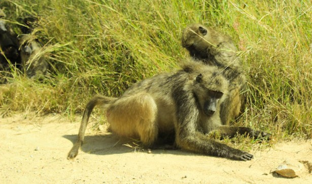 Baboon on S120. Steilberg Loop