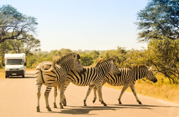 Zebra on S1/Doispane Road